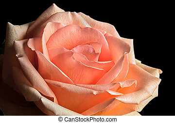 Pastel Peach Rose - A rose with pastel peach and pink tones...