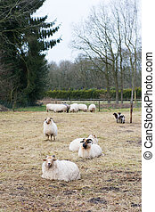 Drenthe Heath sheep - Typical Dutch sheep in province...