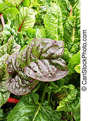 Swiss Chard in garden - Green and red colored swiss chard in...