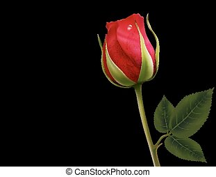 Red rose on a black background. Vector.