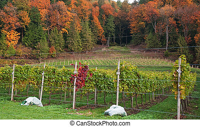 Autumn Vineyard - This nature shot shows a grapevine...