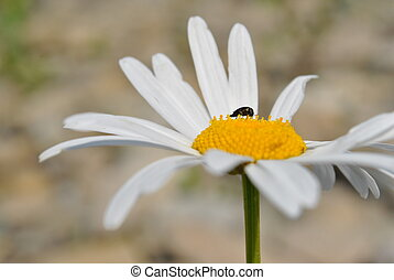 daisy - Daisy in the floodplain Cheremos, Vyzhnytsia,...