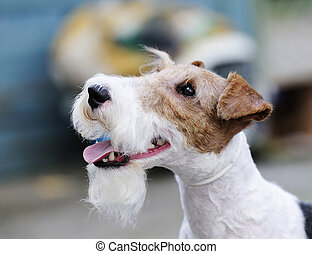 Fox terrier outdoors portrait over blurry background