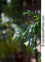 Willow leaves - Green sunlit Willow leaves with background...