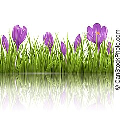 Green grass lawn and violet crocuses with reflection on...