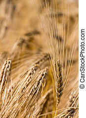 barley field before harvest - a corn field with barley ready...