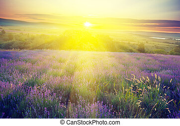 Lavender field in the early morning sun on a background with ray
