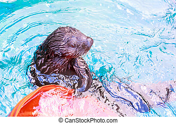 Sea Otter - A sea otter enjoys leisure time in water.