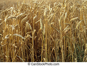 Wheat - Golden wheat just ripened and ready for harvest