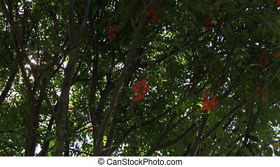 rowan berry - Rowan tree twigs with ripe orange berries and...