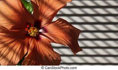 Orange hibiscus next the window