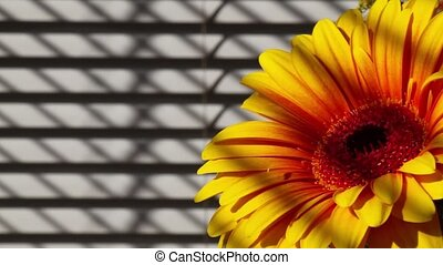 Yellow gerbera next the window in front of sunblind