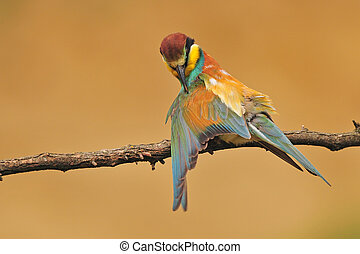 Bee eater - Photo of bee eater standing on a branch cleaning...