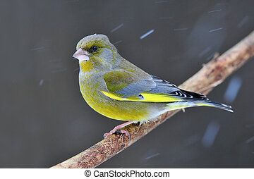 Greenfinch standing on a branch while snowing