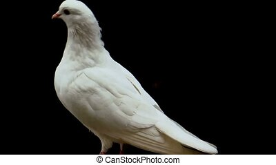 White Pigeon in Action