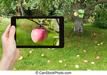 tourist photographs of ripe pink apple - travel concept -...