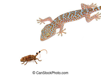 Gecko eating prey on white background