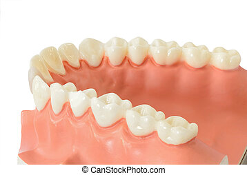 tooth model - Tooth model for education over white...