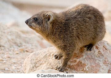 rock badger - close up of a rock badger