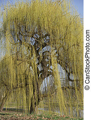 weeping willow - yellow blooming weeping willow with a...