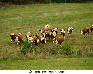 running herd of cows grazing land Czech Republic