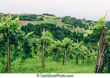 Grapevine cultivation in Southern Styria - Grapevine...
