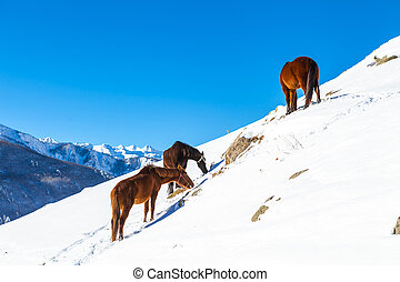 Brown horses graze on snowy slope - Brown horses graze on a...
