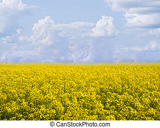 flowering field of colza in spring - Infinite flowering...