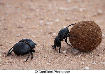 excremento, escarabajos