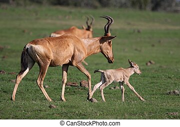 Red Hartebeest Baby - New born baby Red Hartebeest antelope...