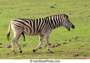 Laughing Zebra - Funny male zebra with large penis and look...