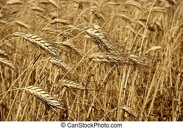 Agriculture wheat golden dried fiels crop texture background