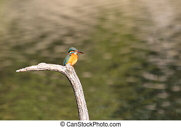 Common Kingfisher (Alcedo atthis) in Japan