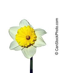 Narcissus. - Narciso the first flowers of spring has sprung.