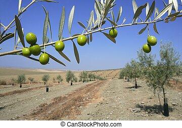 Beautiful green olive field macro over blue sky