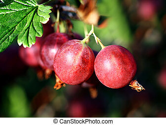 red gooseberry berries on branch