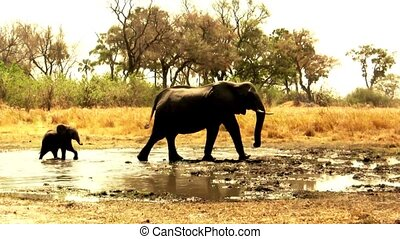 African elephants leaving waterhole