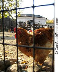 Hen on a farm