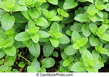 mint plant grow at garden - mint plant grown at vegetable...