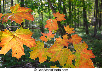 Maple autumn leaves in wood