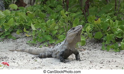 Iguana Closeup in Tropical Setting - A friendly iguana in a...