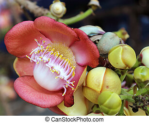 Shorea robusta, also known as Sal or Shala Tree, is a species of