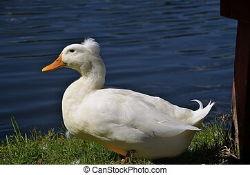 White duck by the water - A white duck is rady to waddle...