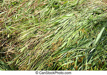 fodder grass - green fodder grass forcows