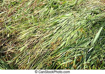 fodder grass - green fodder grass forcows