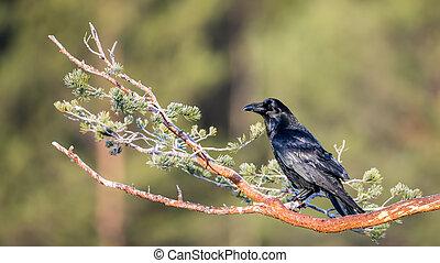 Raven - Common raven (Corvus corax) on his watch in Uppland,...