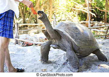 Aldabra giant tortoise reaching for the leaves in hand of...