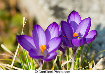 two crocus flowers with yellow blossom at march