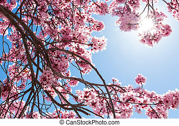 Spring flowers - Tree with pink flowers against blue sky