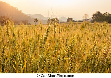 Barley on a field with sun flare